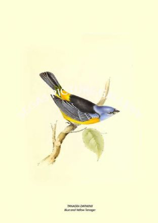 TANAGRA DARWINII --- Blue-And-Yellow Tanager